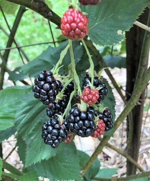 Although blackberries are well adapted to North Florida, many different biotic and abiotic factors can impact fruit production.