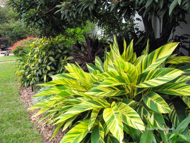 Variegated shell ginger is an excellent plant for providing color in shaded areas of the landscape. Photo by David W. Marshall.
