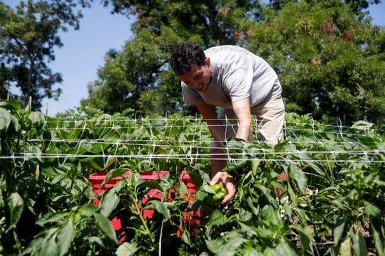 Farm Manger David Newman picks peppers at Liberty Farms Wednesday, July 3, 2019.