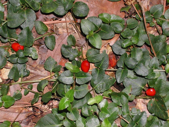 Encourage partridge berry, a native groundcover, if you're fortunate enough to have it in shaded areas of your garden.
