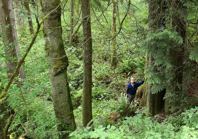 Paul Dorn, president of Friends of Miller Bay, pauses for a moment to lean on a large cedar tree as he makes his way up the trail toward Miller Bay  Road on Wednesday, July 3, 2019. The Great Peninsula Conservancy and Friends of Miller Bay are raising money to add the 13 acres of forest and shoreline habitat to a waterfront preserve on Miller Bay.