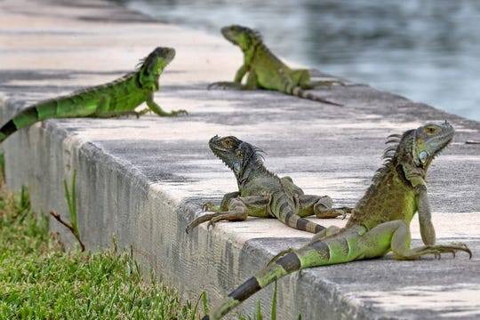 In this June 24, 2018, file photo, iguanas gather on a seawall in the Three Islands neighborhood of Hallandale Beach, Fla.
