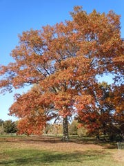 While not yet in Kentucky, a relatively new disease, sudden oak death, was recently found in several nurseries in Illinois and Indiana. If it makes it to Kentucky it could threaten the large native oak populations including this large scarlet oak (Quercus coccinea.)