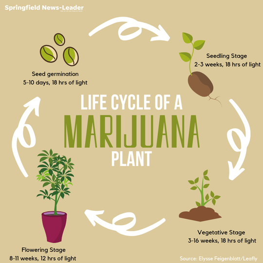 life cycle of marijuana