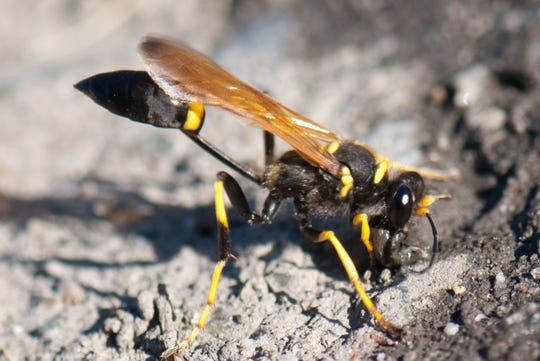 A Mud Dauber wasp gathering nesting material in Vancouver.