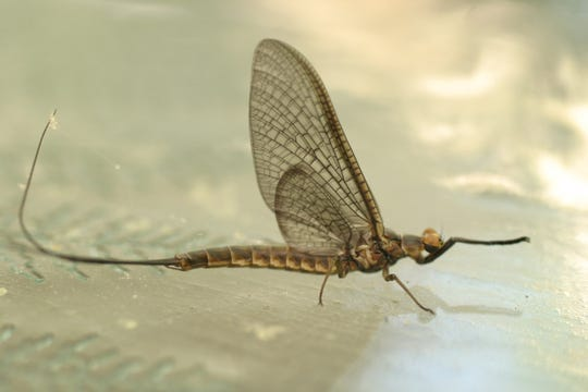 The giant Hexagenia limbata mayflies, growing up to about 1.5 inches long, typically hatch around the Great Lakes region in late June or early July.