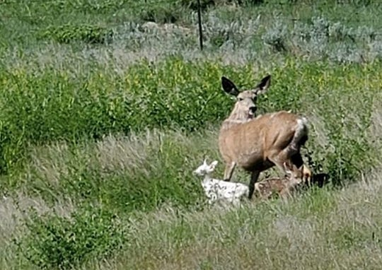 This photo of a rare albino fawn was shared by Tracy Baker of Miles City and posted on the Montana Fish, Wildlife and Parks website.