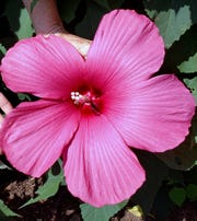 Hibiscus Moy Grande is easily the size of a dinner plate.