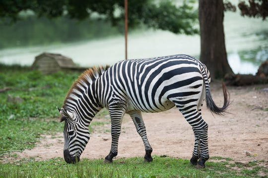 A zebra is seen off I.C. King Road in Seymour, Thursday, July 4, 2019. The Blount County Sheriff's office is investigating after receiving four reports of a zebra biting people at the privately owned farm.