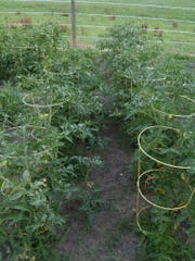 Tomatoes grow tall in Lovina's garden.