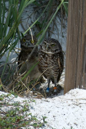 File: A family of burrowing owls make their nest at the edge of Residents' Beach.