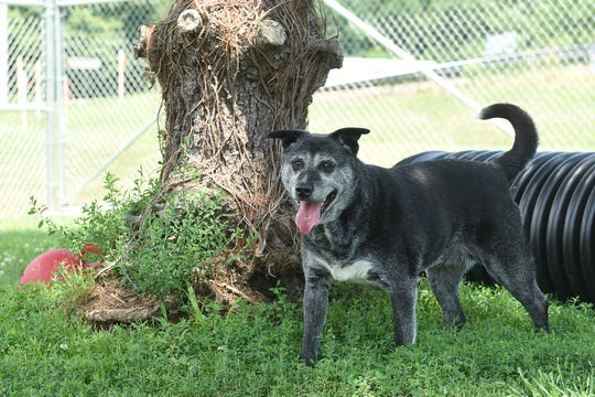 Six-year-old Australian cattle dog mix Patricia plays in one of the yards of the Licking County Animal Shelter. Patricia, who is available for adoption, has been at the shelter since May 1, 2019.