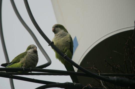 Monk parrots in Edgewater