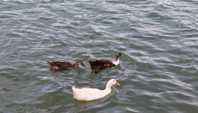 A trio of ducks enjoy a swim in the Pecos River before the July 4 fireworks show in Carlsbad.
