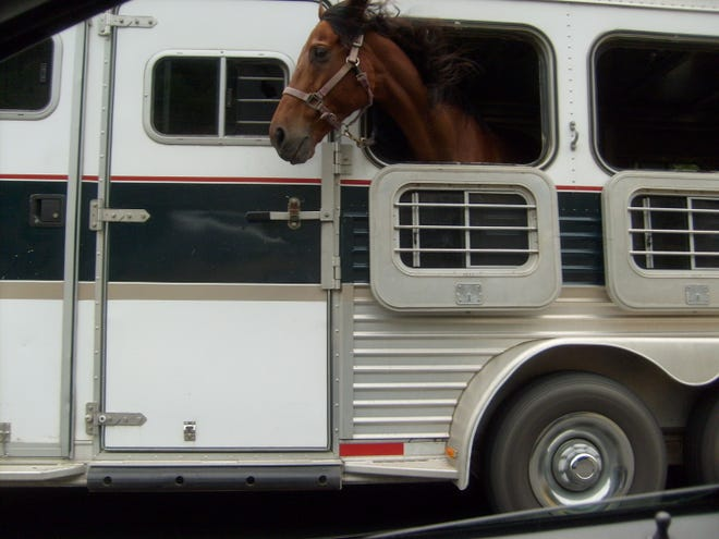 A horse in transport enjoys the breeze from an open window of the trailer.