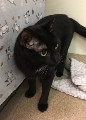 Sppoky the cat is always looking for a play partner and would prefer that her new family has a cat companion.