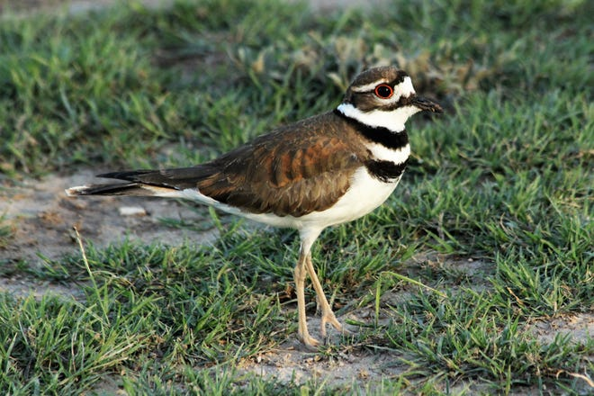The killdeer (Charadrius vociferus) is a common bird throughout the southern half of the continental United States on a year-round basis.