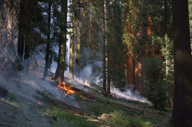 """Parts of the Giant Forest in Sequoia National Park will burn this week to preserve park health. Visitors should expect delays and """"moderate smoke impacts,"""" rangers said."""
