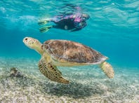 A visitor snorkels with a Cayman sea turtle