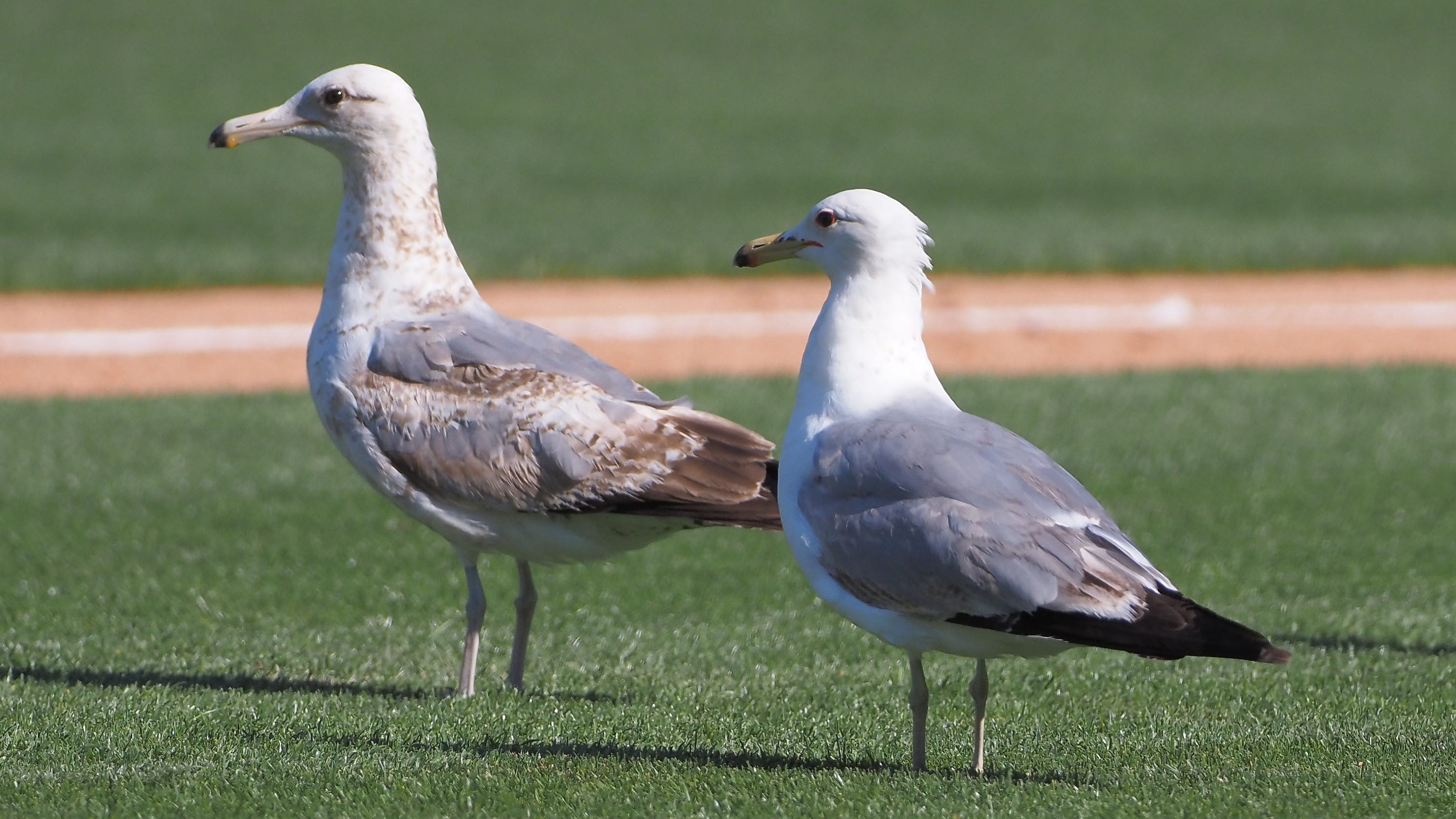 San Francisco Giants solve seagull issue by playing 'Cha Cha