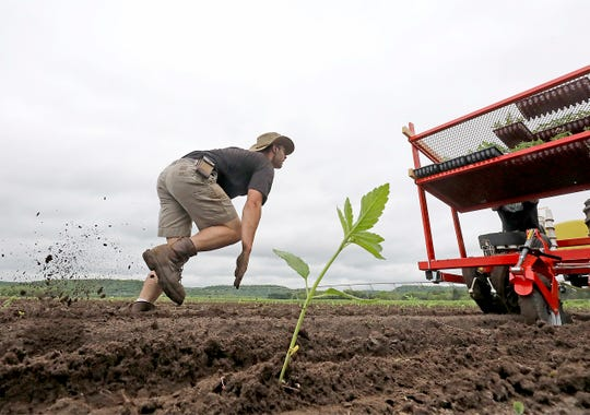 In this May 28, 2019, photo Sam Liegel of Driftless Extracts trails a planting machine to make sure newly-planted hemp seedlings are secured in dirt in a field operated by the company near in Arena, Wis.