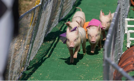 Pig races at the Ocean County Fair in this Asbury Park Press file photo from July 13, 2018.