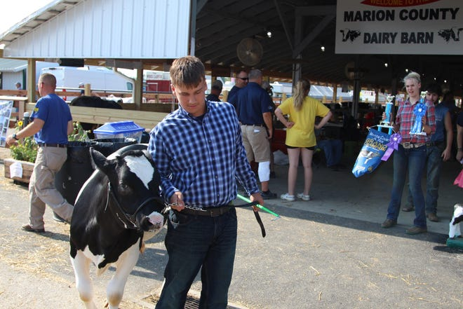 Brady Cookson, 13, escorts his cow Greg into Evers Arena Saturday morning as the Marion County Fair came to an end later that day.