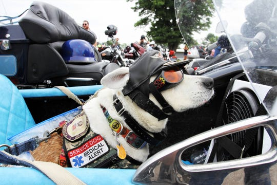 Stingray is ready to ride in her human's sidecar at for Hogs for Dogs. The goggles and helmet help protect her from the sun and wind.