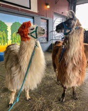 Apparently, this llama seems to like wearing wigs, and did not mind this photo shoot one bit.