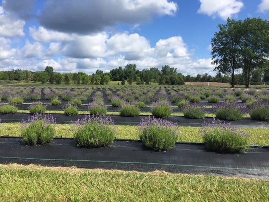 This year's Original Michigan Lavender Festival will include free shuttle rides to nearby Indigo Lavender Farms to pick lavender.