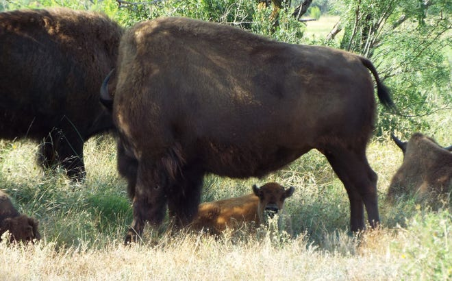 A baby bison rests in the shade of his mother on Sunday, July 7, 2019 at San Angelo State Park.