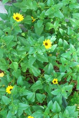 Dune or Beach Sunflower (Helianthus debilis), is a sun-loving native groundcover for seaside and Treasure Coast gardens.