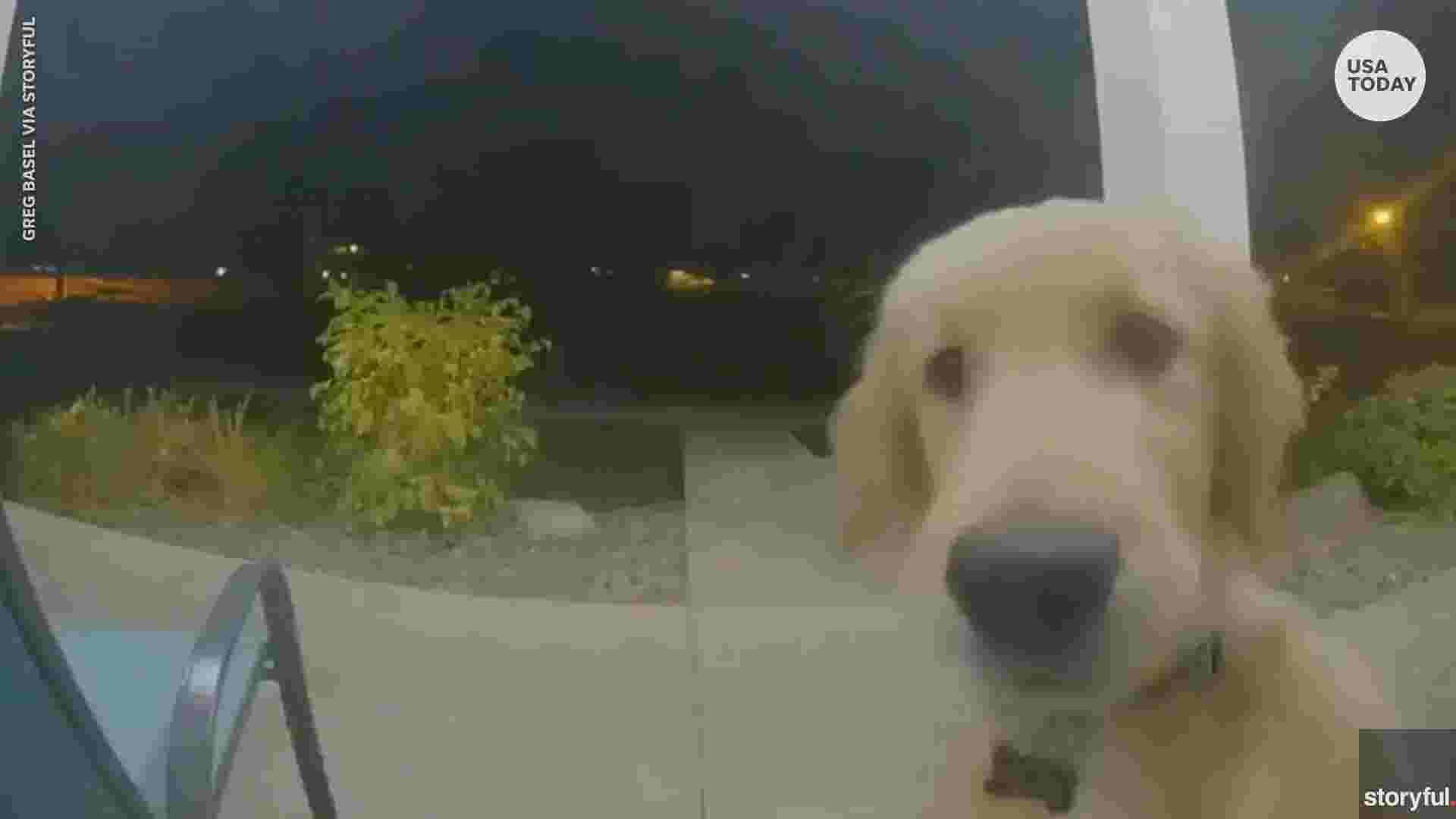 Golden retriever puppy escapes, rings doorbell