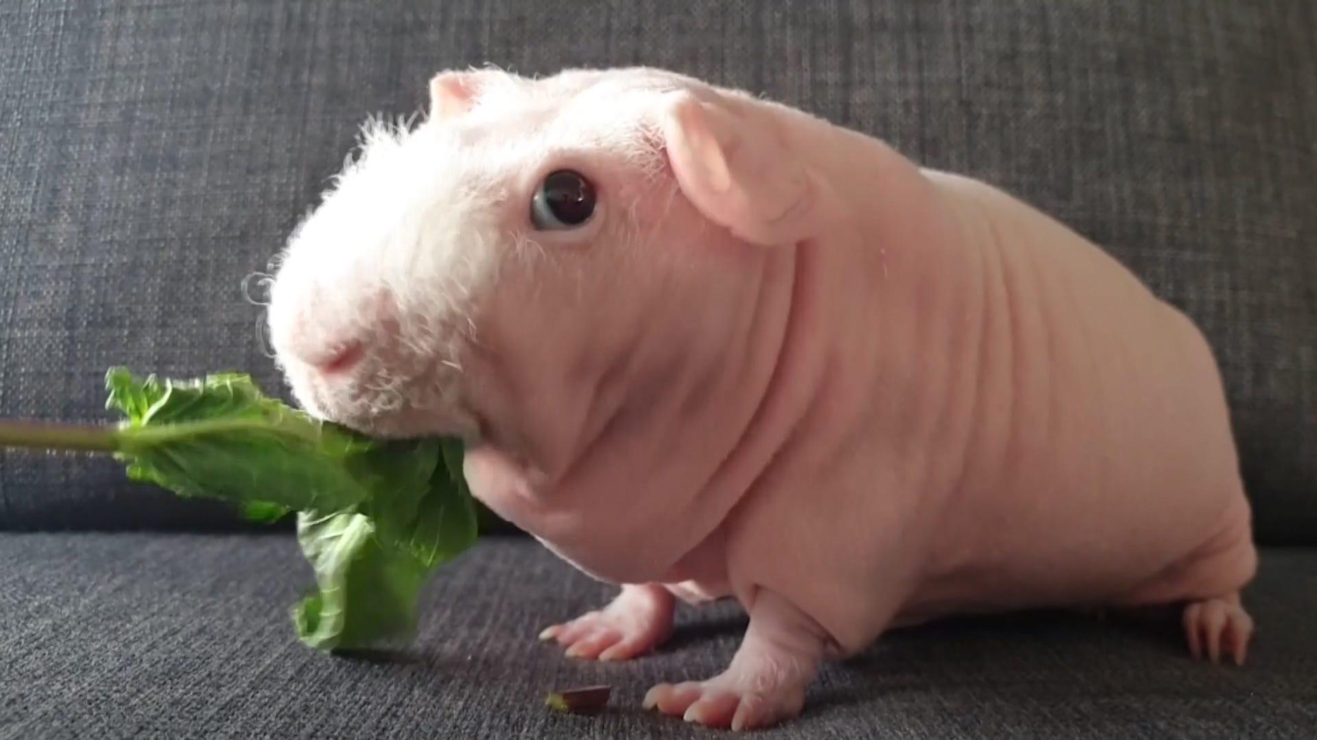 Image result for Skinny pig