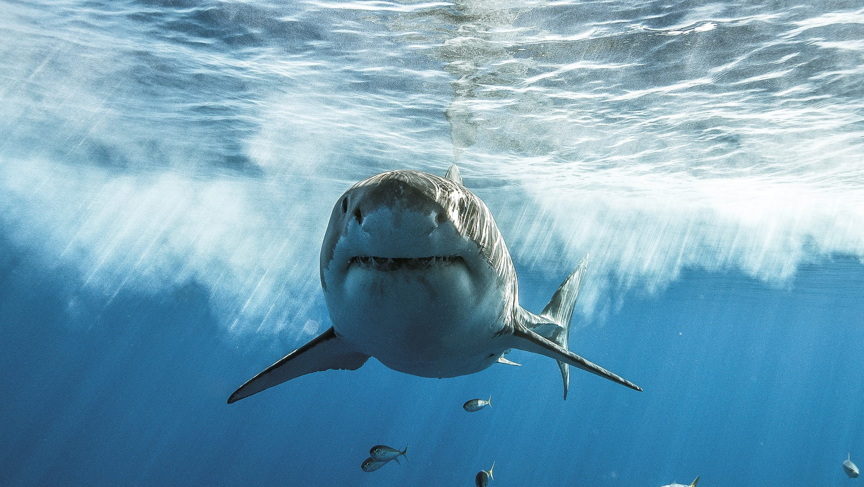 What to know about sharks: Shark Week, SharkFest, danger to