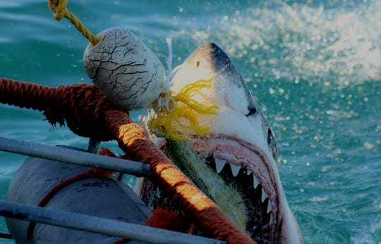 Not what you want to see chomping at your boat, unless you're a shark expert like the photographer, Dr. Craig O'Connell.
