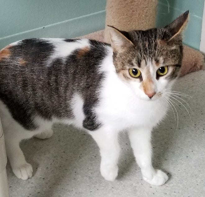 Cookie is a one-year-old Calico looking for a home.
