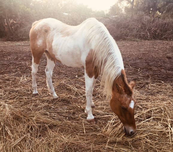Jose Antonio Gamez Azcanio of Alva has been charged with torment of an animal permitting livestock to run at large or stray. This horse, shown here in January on a previous owner's property, a female American paint, was found showing signs of malnutrition.