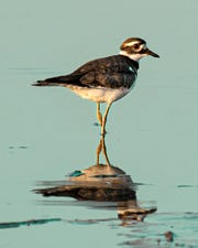 An adult killdeer -- and its reflection -- pause as the sun sets last week in the sloughs of western Henderson County.