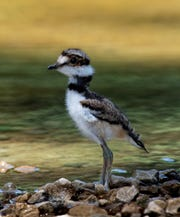 A baby killdeer bird makes its way among the rocks and pebbles that are common to their nesting area.