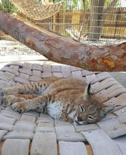 A bobcat rests at the Spring River Park and Zoo in Roswell.
