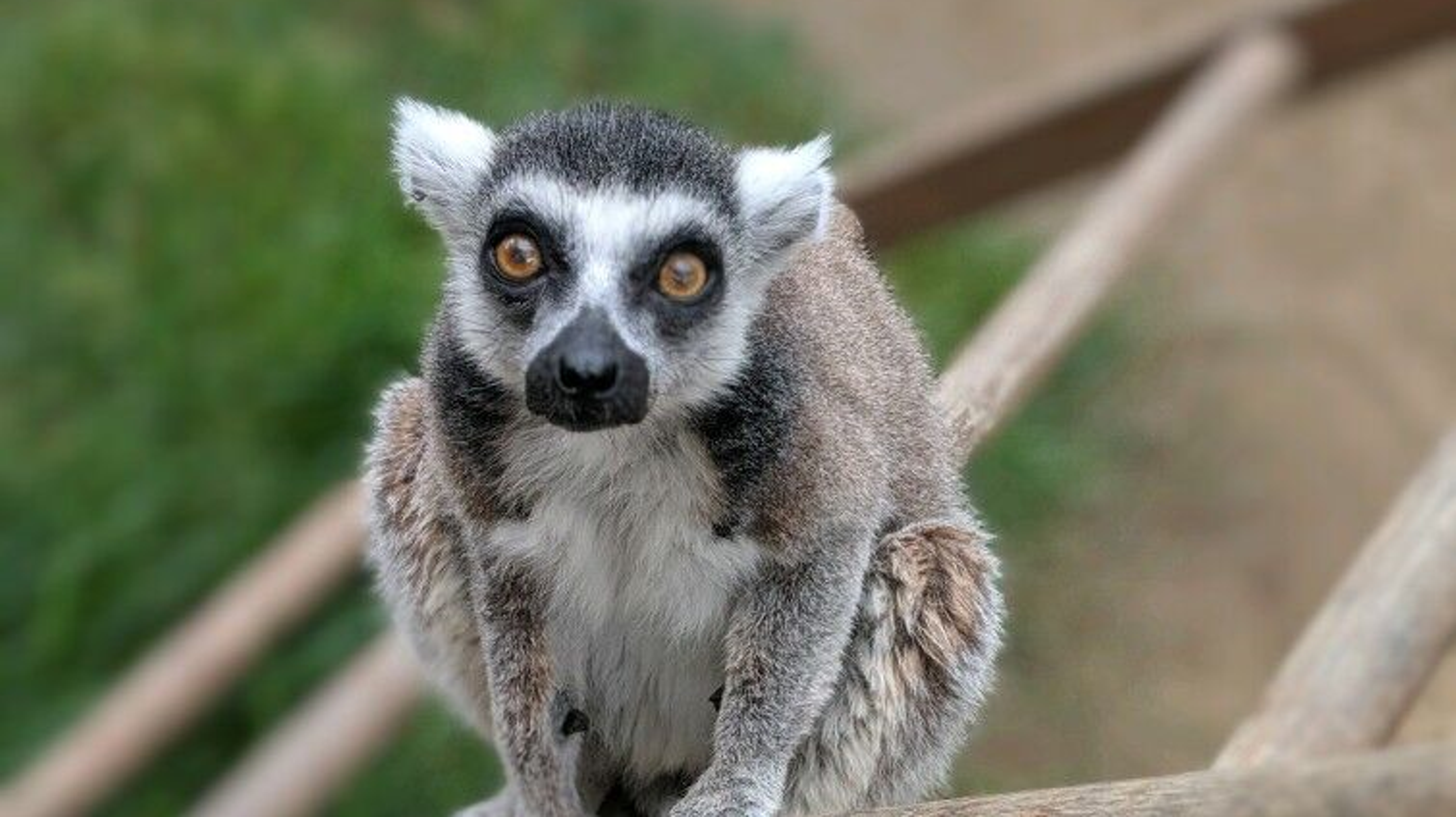 Newport Beach Man Pleads Guilty To Stealing Lemur From Santa Ana Zoo