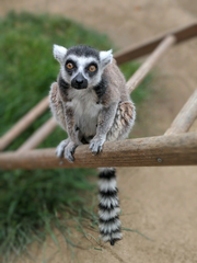 Isaac, the oldest-living ring-tailed lemur in North America at age 32. He was taken from the Santa Ana Zoo and returned unharmed soon after.