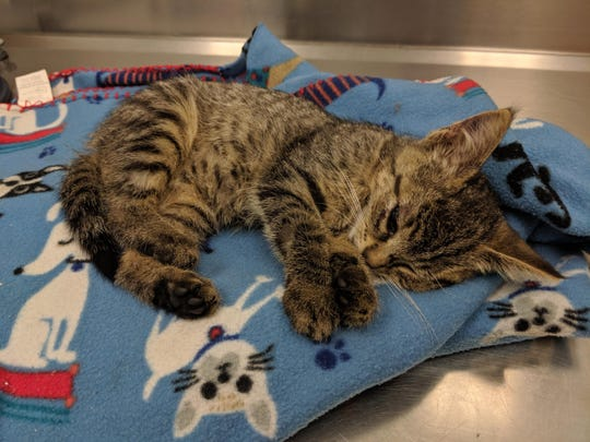 This 8-week-old kitten was severely injured when she was thrown out of a car in Batavia on July 6, 2019. The kitten's injuries were so severe that she was later euthanized.
