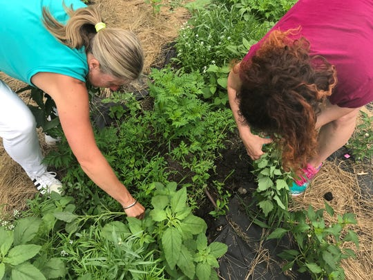 Andrea Lawrence and Ann Finan, volunteers at the SCSU community garden, pick weeds and explain what parts of the plants are edible.