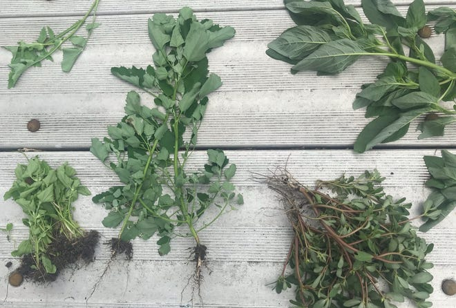 A grouping of weeds pulled from the SCSU community garden on July 9, 2019.
