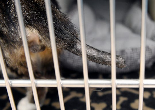 When Prometheus was brought to the shelter, all that was left of the last half of his tail was about six inches of black, desiccated bone. The veterinarian removed all of the dead bone and tissue and he has been recovering comfortably.