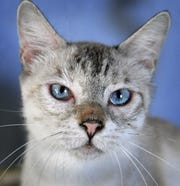 Jennifer is a 2-year-old, white and gray, Siamese cat. She has been spayed, vaccinated and microchipped. Jennifer loves people, gets along with other cats and is available for adoption at the Humane Society of Wichita County.