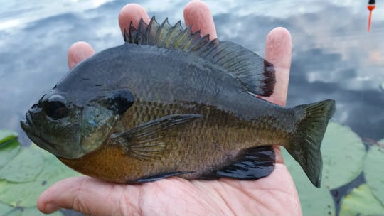 A bluegill caught at Peterson Lake in Burnett County, Wis.