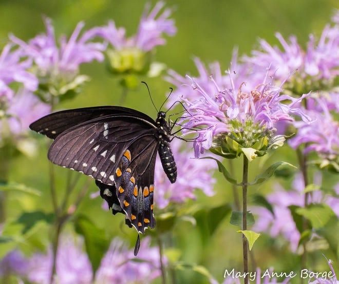 Spicebush Swallowtail butterfly on Wild Bergamot.